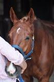 Sedated Horse Stock Photography