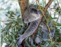 Sedd härlig koala, medan gripa sidor av ett träd för att äta, västra Australien arkivbilder