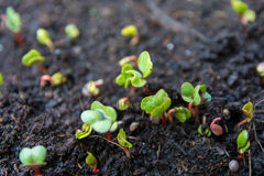 Seddling radish leaves Royalty Free Stock Images