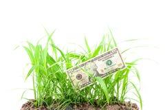 Sedeldollar på ungt grönt gräs som växer ut ur jordningen Arkivfoton