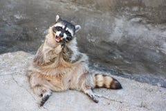 Sedendosi sul raccoon della roccia Fotografie Stock Libere da Diritti