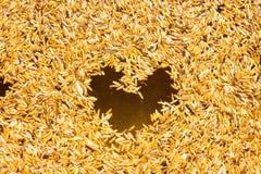 SEDERE riso o riso sbramato germinato di GA Fotografie Stock
