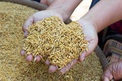 SEDERE riso o riso sbramato germinato di GA Immagine Stock
