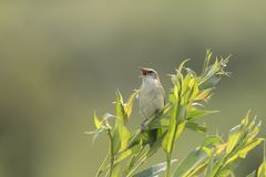 Sedge πουλί συλβιών, schoenobaenus Acrocephalus, τραγούδι Στοκ Εικόνα