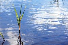 Sedge στο νερό Στοκ εικόνα με δικαίωμα ελεύθερης χρήσης