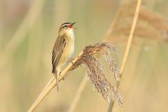 Sedge συλβία, schoenobaenus Acrocephalus, τραγούδι πουλιών σκαρφαλωμένο Στοκ Εικόνες