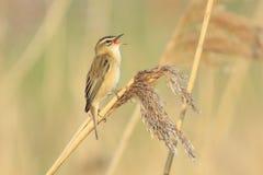 Sedge συλβία, schoenobaenus Acrocephalus, τραγούδι πουλιών σκαρφαλωμένο Στοκ εικόνα με δικαίωμα ελεύθερης χρήσης