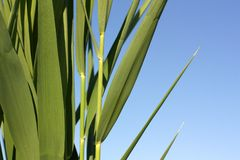Sedge. Leaves of sedge on background of the blue sky Stock Photos