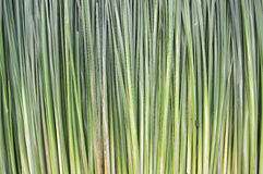 Sedge background. Sedge plant for advertising background Royalty Free Stock Images