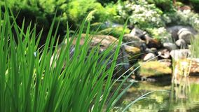 Sedge on a background of a mountain stream stock video footage