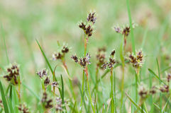 Sedge blossoms Royalty Free Stock Images