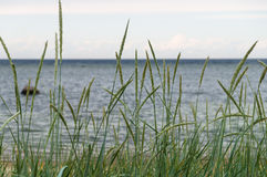 Sedge in front of seashore Royalty Free Stock Photo