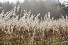 Sedge grass autumn back background Royalty Free Stock Photos