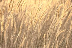 Sedge grass autumn back background Royalty Free Stock Images
