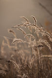 Sedge grass in autumn at brown background. Reeds at sunset. On ground stock image