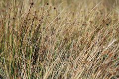 Sedge grass background Royalty Free Stock Images
