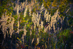 Sedge grass royalty free stock images