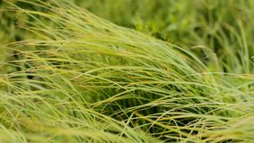Sedge Grass Under The Wind Royalty Free Stock Images