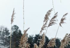 Sedge near the lake in frosty day. Frosty windy day in ukraine near the lake in forest. abstract picture without people. wistful mood stock image