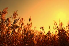 Sedge in the orange sky and sun Royalty Free Stock Images