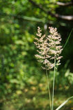 Sedge plant. On a background of green Royalty Free Stock Images