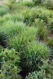 Sedge in a Rain-Garden Stock Images