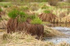 Sedge on swamp, Sakha Yakutia Royalty Free Stock Image