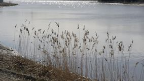 Dry sedge swayed slightly from the wind. Sedge swinging in the wind against the backdrop of the river stock footage