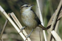 Sedge warbler Royalty Free Stock Image