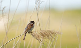 A sedge warbler. In the reeds Royalty Free Stock Photo