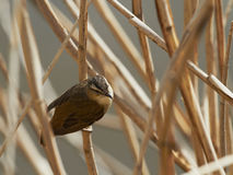 Sedge warbler Royalty Free Stock Photos