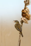 The Sedge Warbler (Acrocephalus schoenobaenus). On reed singing Royalty Free Stock Photo