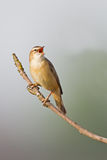 The Sedge Warbler (Acrocephalus schoenobaenus). Singing on reed Stock Photos