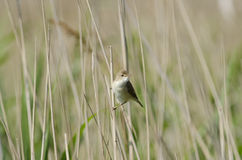 Sedge Warbler (Acrocephalus schoenobaenus) Stock Photos