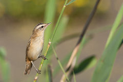 Sedge Warbler (Acrocephalus schoenobaenus). A Sedge Warbler (Acrocephalus schoenobaenus) in its natural environment Royalty Free Stock Images