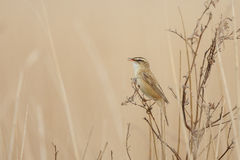 The Sedge Warbler. (Acrocephalus schoenobaenus Stock Images