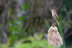 Sedge warbler. Acrocephalus schoenobaenus. Bird Royalty Free Stock Images