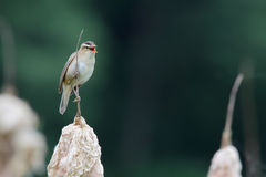 Sedge warbler. Acrocephalus schoenobaenus. Bird Royalty Free Stock Photography