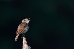 Sedge warbler. Acrocephalus schoenobaenus. Bird Royalty Free Stock Photo