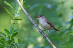 Sedge warbler. Acrocephalus schoenobaenus. Bird Stock Photo