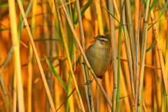 Sedge warbler. Acrocephalus schoenobaenus. Bird Stock Photography