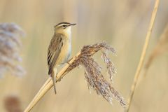 Sedge Warbler, Acrocephalus schoenobaenus, bird singing perched. Closeup of a single Sedge Warbler bird, Acrocephalus schoenobaenus, singing to attract a female Stock Photography