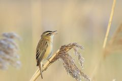 Sedge Warbler, Acrocephalus schoenobaenus, bird singing perched. Closeup of a single Sedge Warbler bird, Acrocephalus schoenobaenus, singing to attract a female Royalty Free Stock Photos