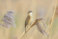 Sedge Warbler, Acrocephalus schoenobaenus, bird singing perched. Closeup of a single Sedge Warbler bird, Acrocephalus schoenobaenus, singing to attract a female Royalty Free Stock Photography