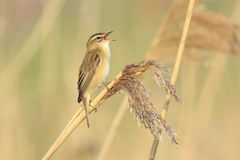 Sedge Warbler, Acrocephalus schoenobaenus, bird singing perched. Closeup of a single Sedge Warbler bird, Acrocephalus schoenobaenus, singing to attract a female Royalty Free Stock Image