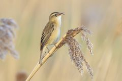 Sedge Warbler, Acrocephalus schoenobaenus, bird singing perched. Closeup of a single Sedge Warbler bird, Acrocephalus schoenobaenus, singing to attract a female Royalty Free Stock Photo