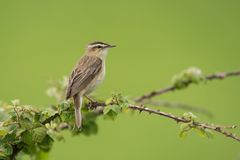 Sedge Warbler, Acrocephalus schoenobaenus. Meadow Birds - Sedge Warbler, Acrocephalus schoenobaenus Royalty Free Stock Photos