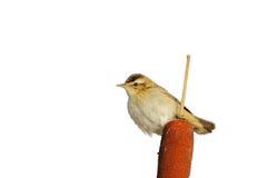 Sedge Warbler (Acrocephalus schoenobaenus). Royalty Free Stock Photography
