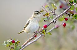 The sedge warbler Acrocephalus schoenobaenus portrait with red berries. The sedge warbler Acrocephalus schoenobaenusis sitting on a hawthorn bush. The Stock Photo