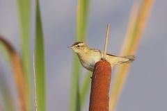 Sedge Warbler (Acrocephalus schoenobaenus). Stock Images